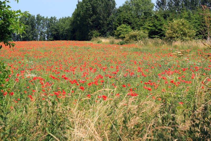 Poppys che cresce selvaggio in un campo dell'azienda agricola. immagini stock