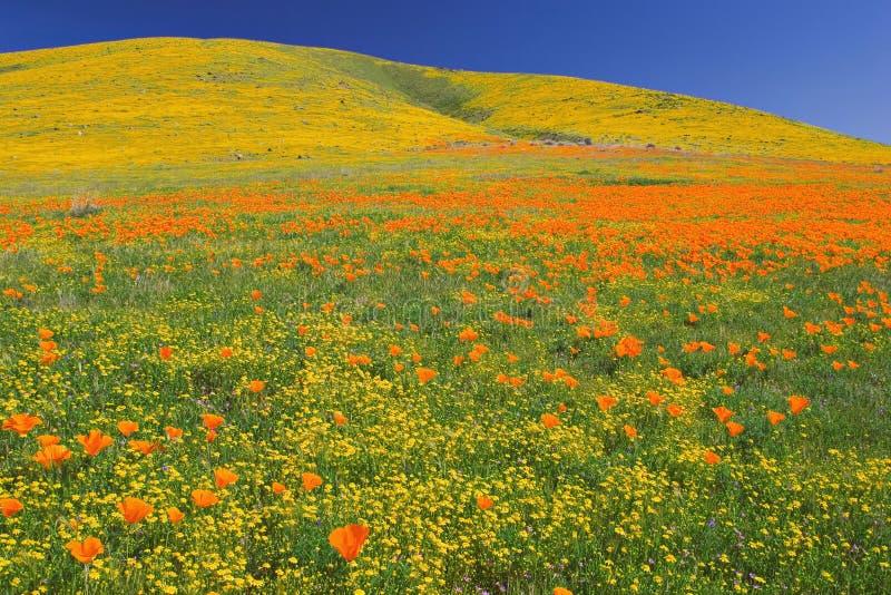 Poppys en pleine floraison image stock