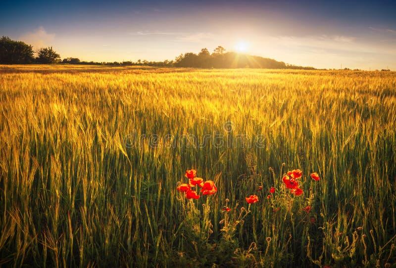 Poppys rojos en un campo de trigo imagen de archivo