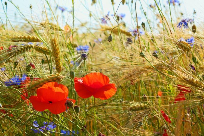 Poppys y acianos en el campo de grano, Alemania septentrional fotos de archivo