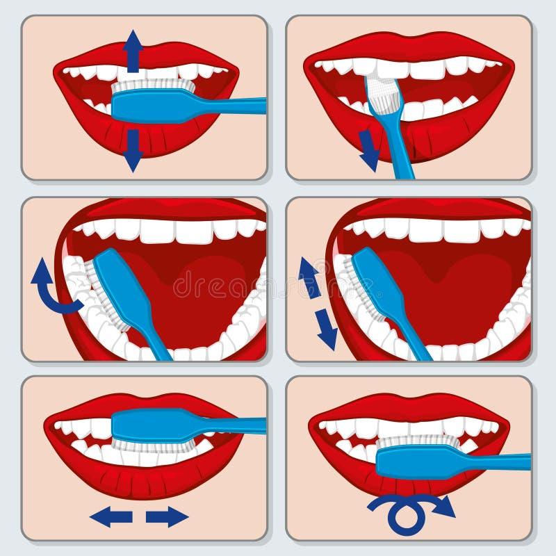 Poprawny ząb szczotkuje wektorowego infographics ilustracji
