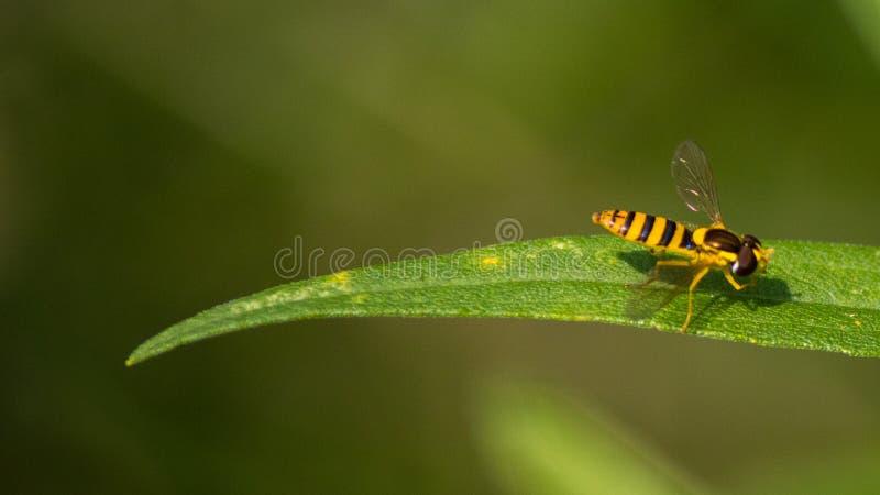 Poprzeczny kwiat komarnicy obsiadanie Na liściu fotografia royalty free