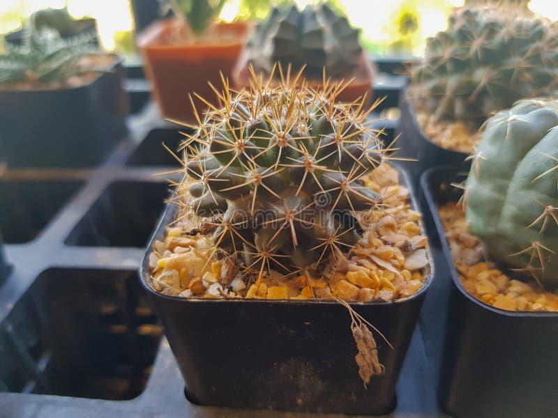 Populära beståndsdelar för inomhus växter och suckulentrosettvariationer inklusive realistisk samling för stiftkuddekaktus arkivfoton