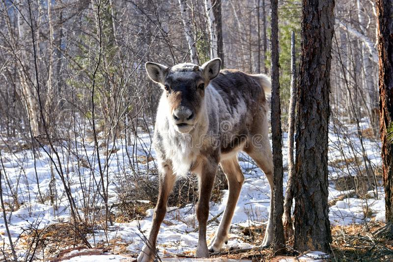 População de Fawn Taiga da rena nas montanhas de Sibéria do sul foto de stock