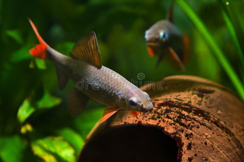 Populaire zoetwater schonere frenatus van vissenepalzeorhynchos, paar het kuit schieten in aardaquarium stock fotografie