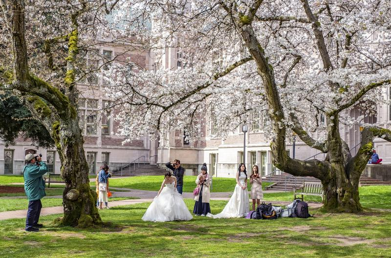 Popular cherry blossoms photography spot at the UW campus in Seattle. University of Washington, Seattle, Washington state, USA - Popular cherry blossoms royalty free stock image