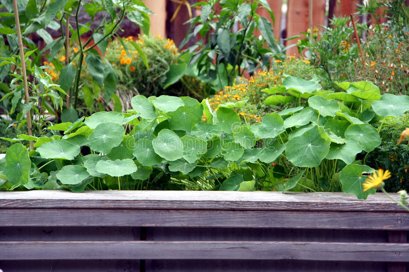 Raised garden bed with flowers and vegetable plants royalty free stock photo