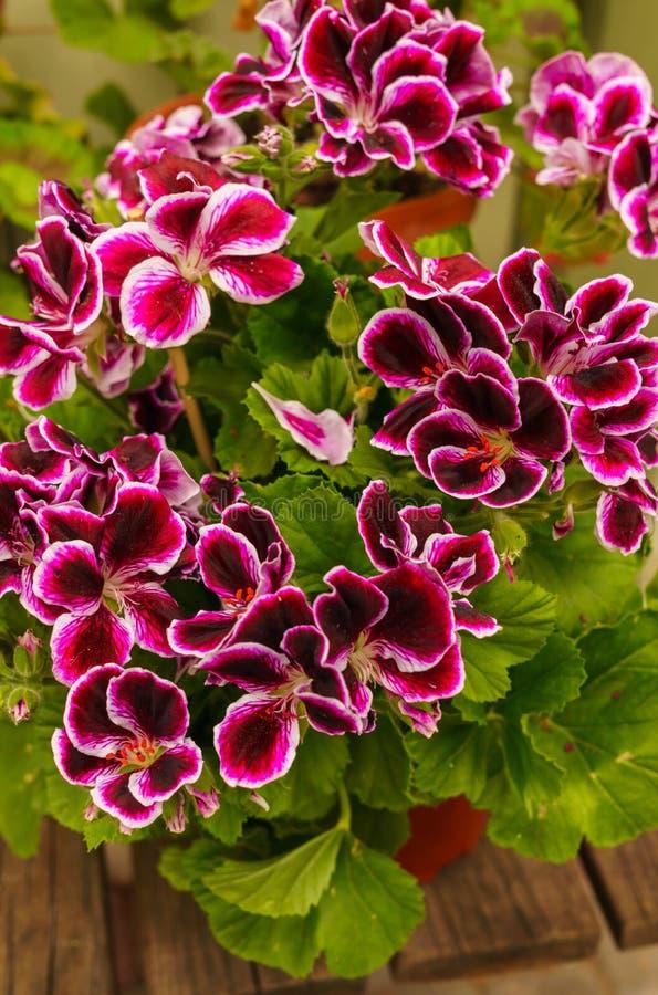 Popular motley geranium flowers for garden decoration.Common geraniums plants royalty free stock photo
