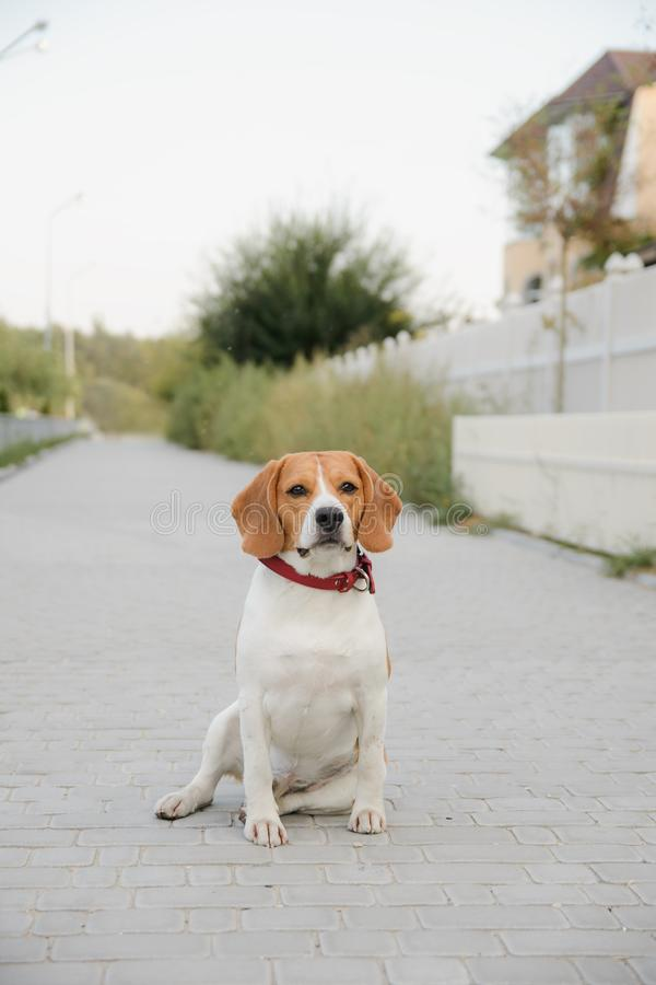 Popular pet beagle dog. Standing on the road and looks royalty free stock images