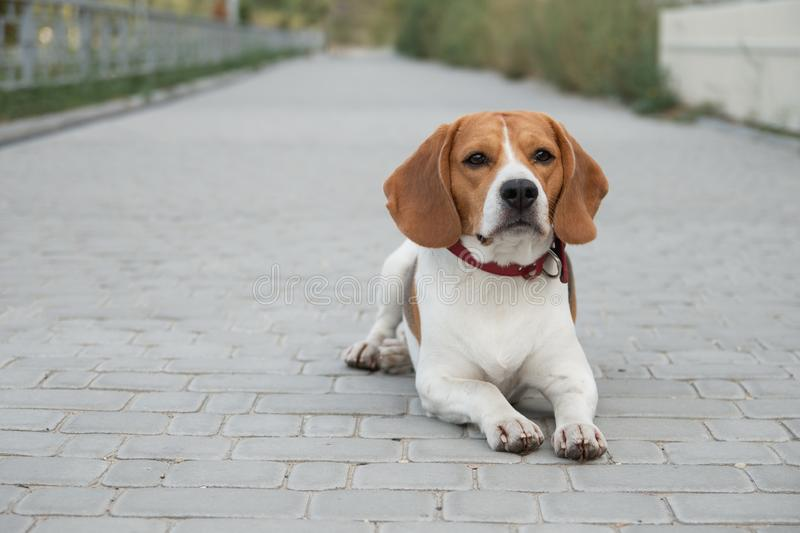 Popular pet beagle dog. Standing on the road and looks royalty free stock photo