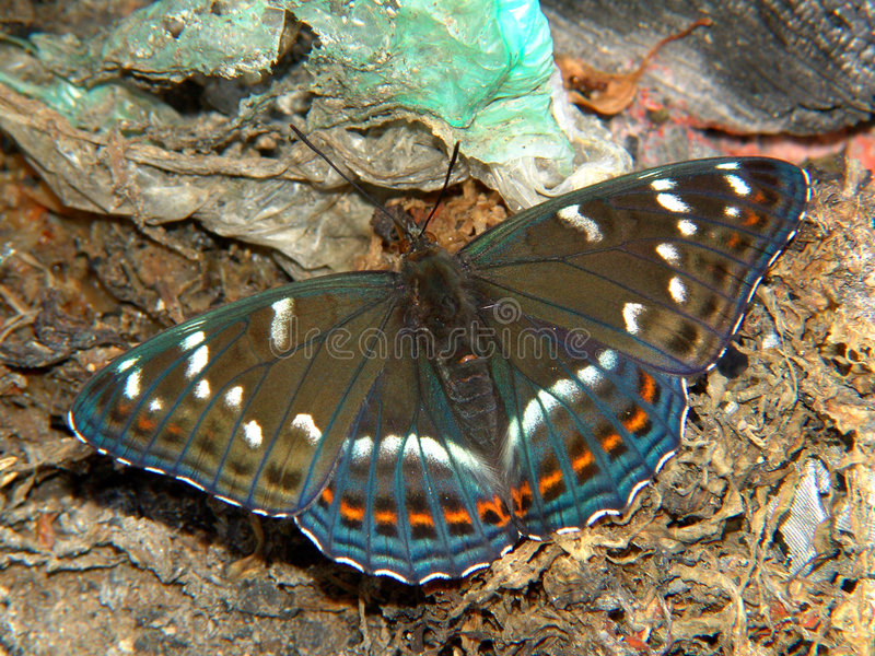 populi limenitis πεταλούδων στοκ φωτογραφία