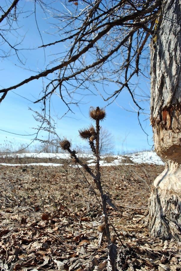 Populierboom door bevers, landschap met het droge melkdistel groeien door rotte bladeren wordt gebeten, witte sneeuw en heldere b stock fotografie