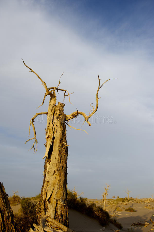Populus dead in the desert. stock photos