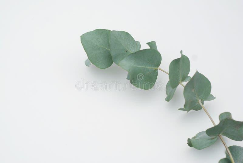 Populus del eucalipto de las hojas en el fondo blanco Endecha plana, visión superior foto de archivo