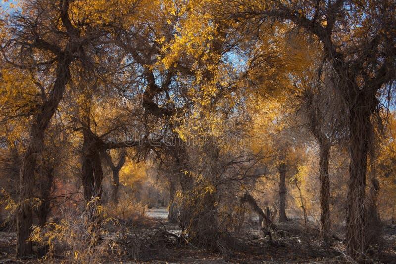 populus euphratica стоковое фото rf