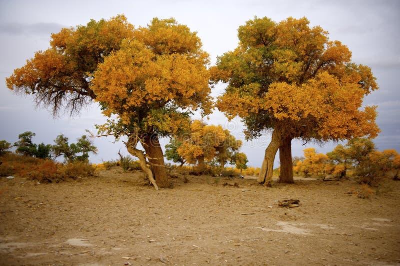 Populus euphratica lizenzfreies stockbild