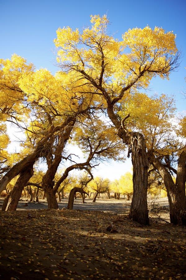 Populus euphratica stockbild