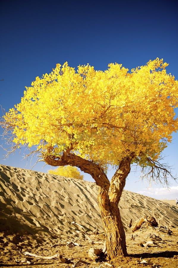 Populus euphratica stockfotos