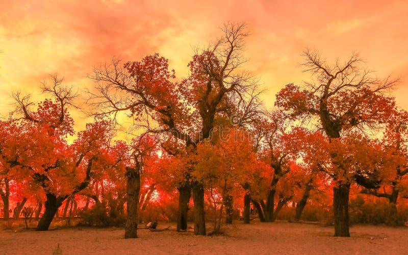 Populus euphratica stockfotografie