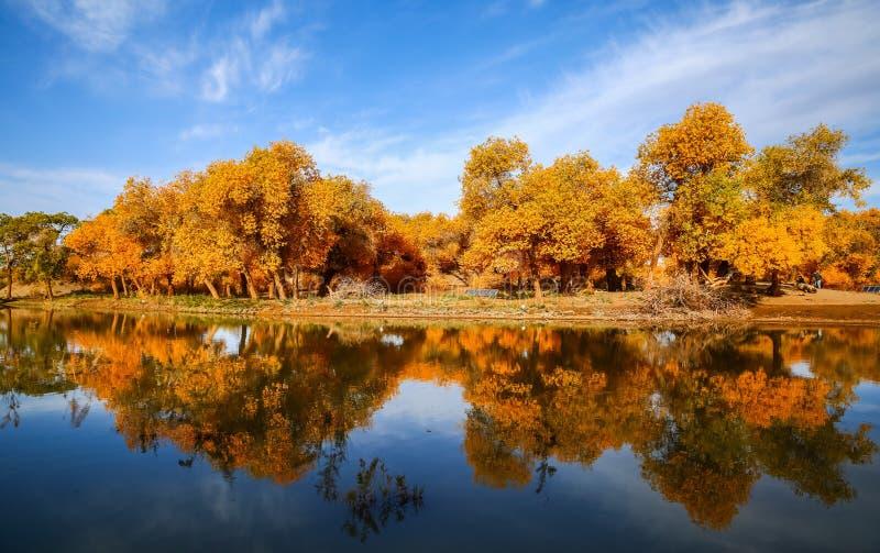 Populus euphratica fotografia stock libera da diritti