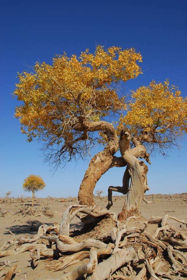 Populus euphratica obrazy stock