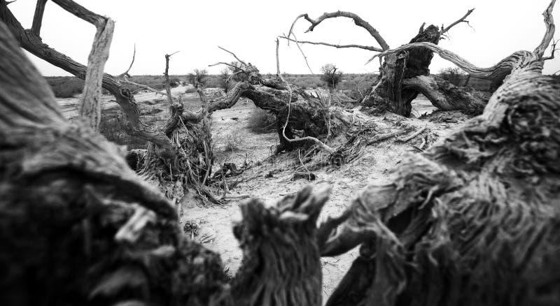 Populus euphratica: der Heldbaum in der Taklimakan-Wüste stockfoto