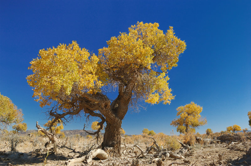 Download Populus Euphratica Forest Royalty Free Stock Image - Image: 3655206