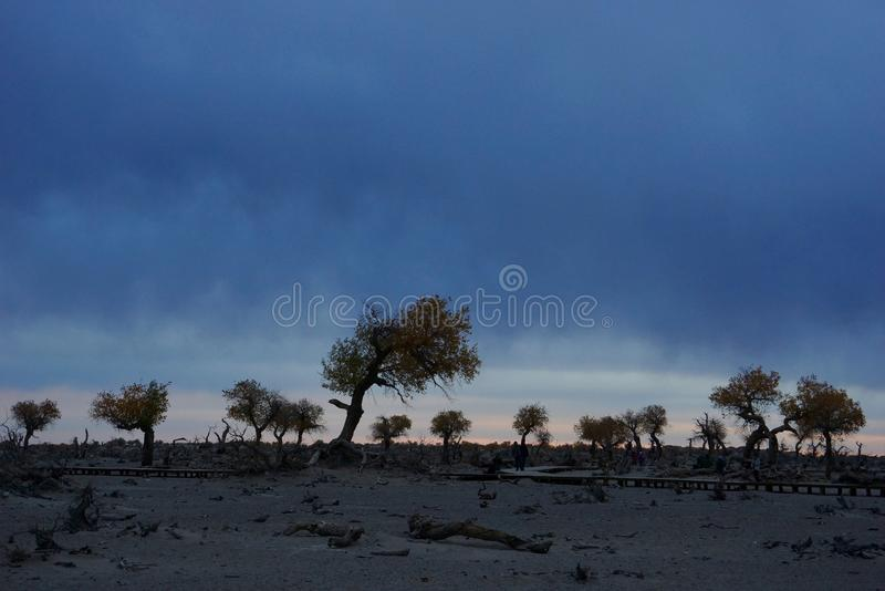 Populus euphratica forest before sunrise stock photo