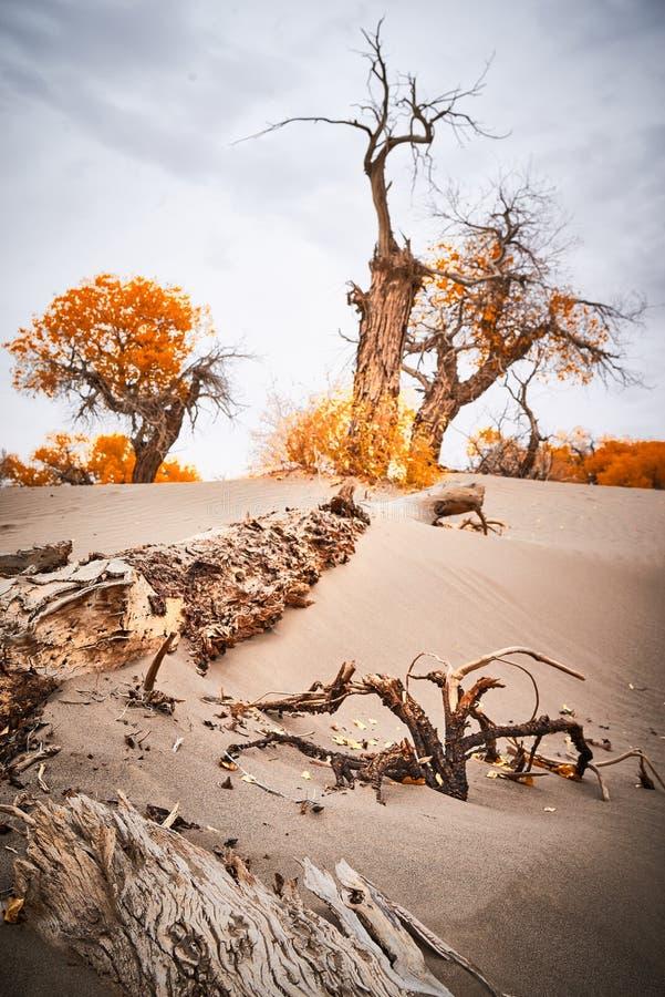 Free Populus Euphratica In Desert Royalty Free Stock Photos - 115021938