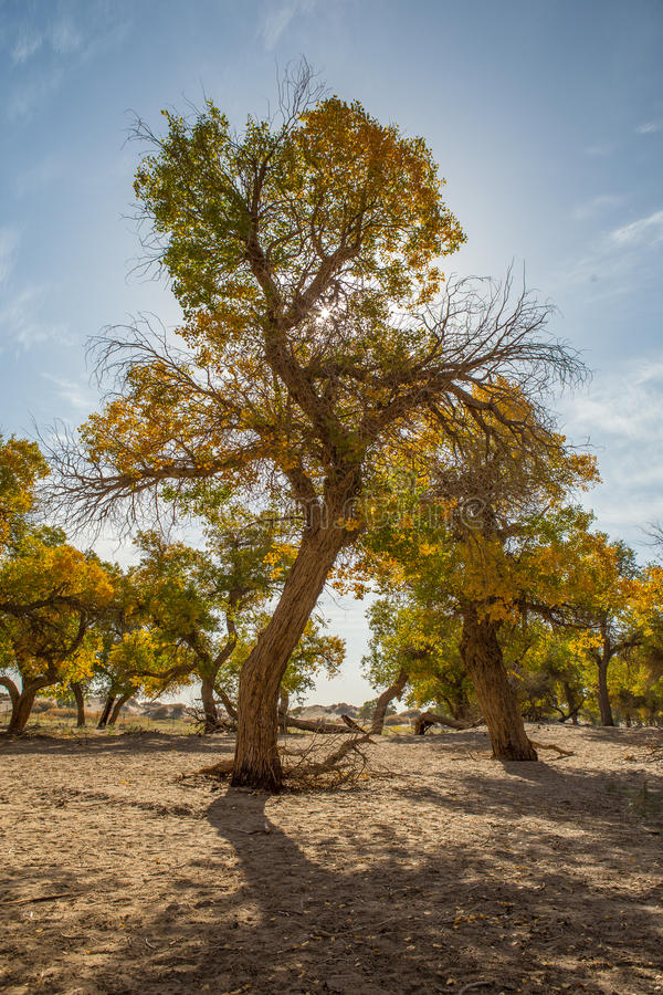 Free Populus Euphratica In The Sunshine Stock Images - 60381844