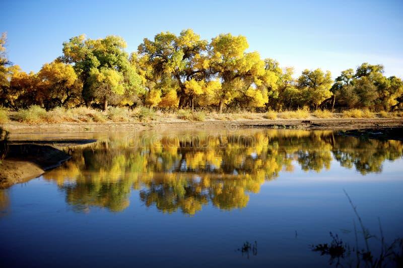 Populus euphratica neben dem Fluss lizenzfreies stockbild