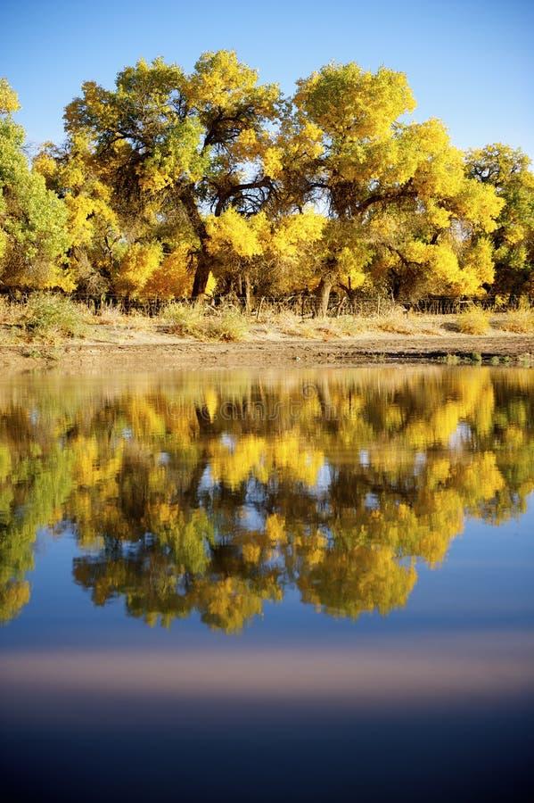 Populus euphratica neben dem Fluss stockfotografie