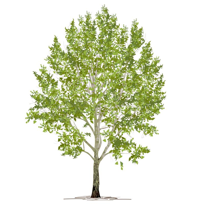 Populus L del álamo con follaje verde en un fondo blanco ilustración del vector