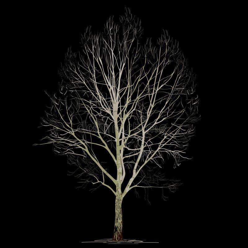 Populus L del álamo en el invierno sin follaje en un fondo negro libre illustration