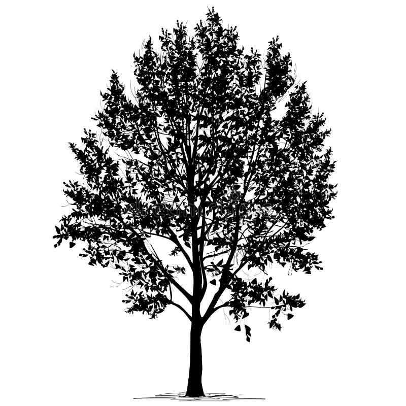 Populus L del álamo silueta con follaje en un fondo blanco stock de ilustración