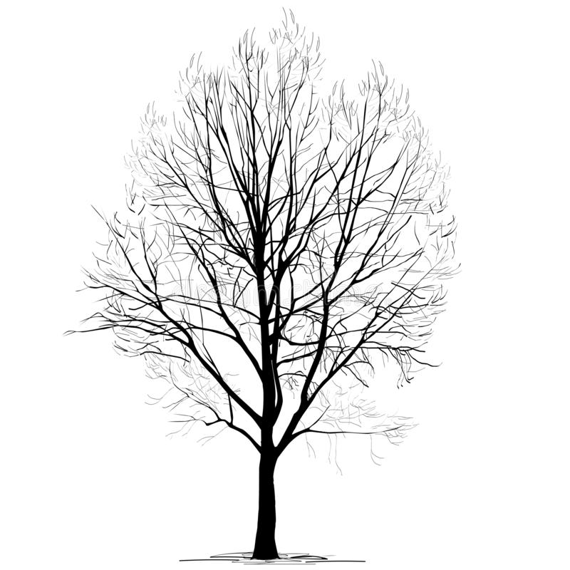 Populus L del álamo silueta sin follaje, en el invierno, en un fondo blanco ilustración del vector