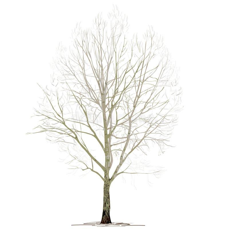 Populus L del álamo sin follaje, en el invierno, en un fondo blanco stock de ilustración