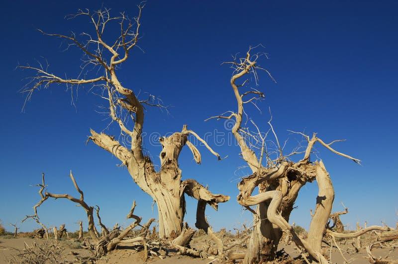Populus mort de Diversifolia image stock