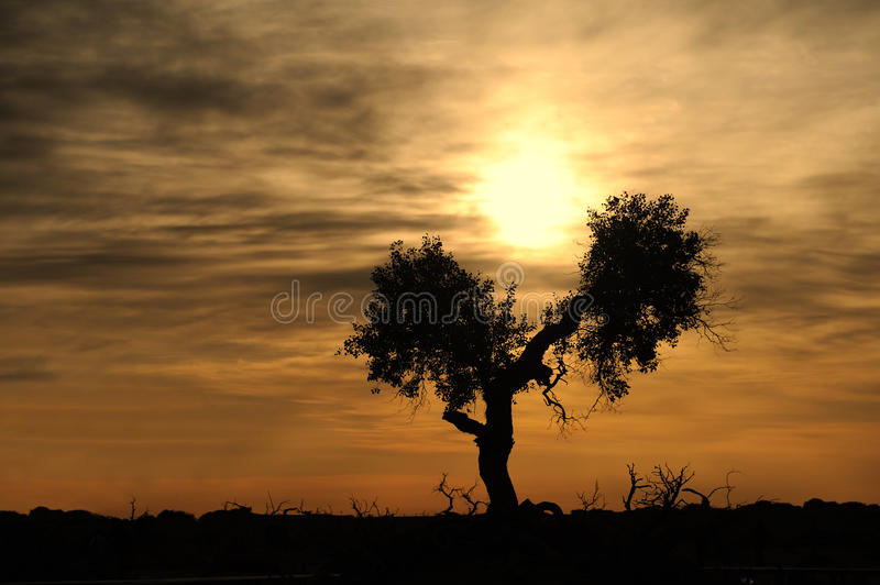 Populus tree at sunrise. Sunrise with tree in desert royalty free stock photography