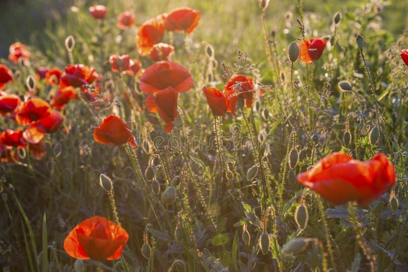 Popy pszeniczny pole zdjęcie royalty free