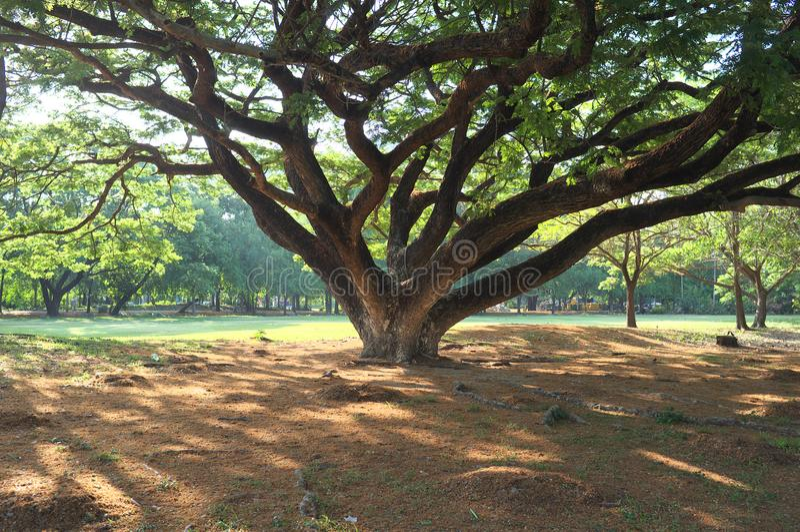 Por debajo el árbol gigante foto de archivo libre de regalías