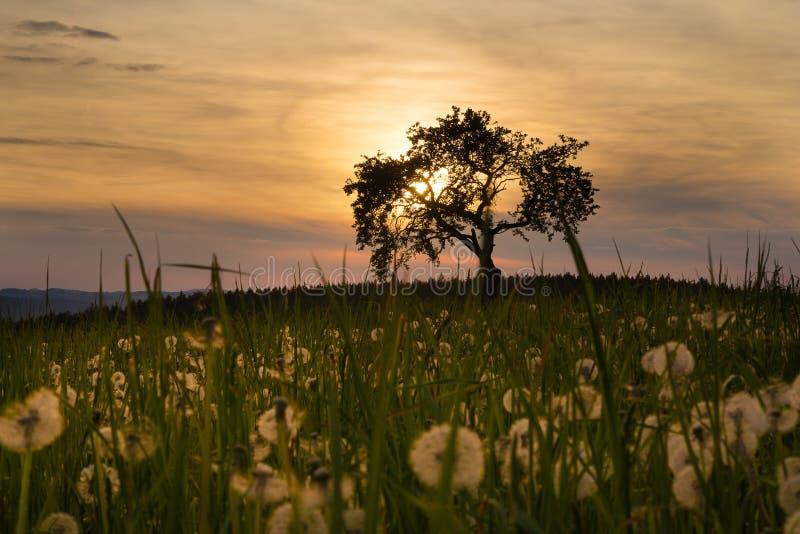 Por do sol, árvore e dentes-de-leão fotos de stock royalty free