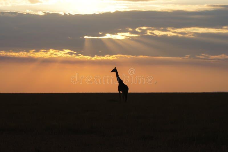 Por do sol africano com silhueta de um girafa selvagem foto de stock