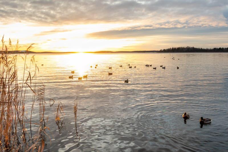 Por do sol alaranjado bonito da paisagem do inverno sobre a água calma com os pássaros do pato do pato selvagem no mar foto de stock