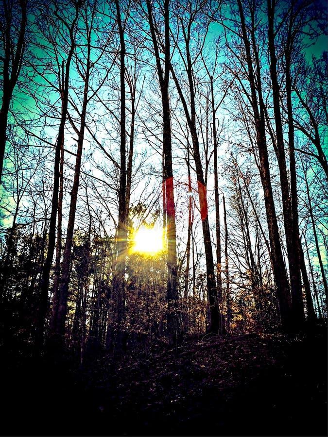 Por do sol através das árvores altas fotos de stock