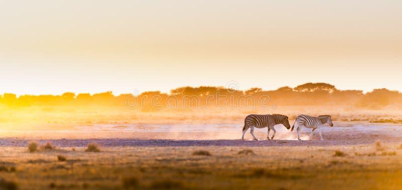 Por do sol Botswana da zebra imagem de stock royalty free