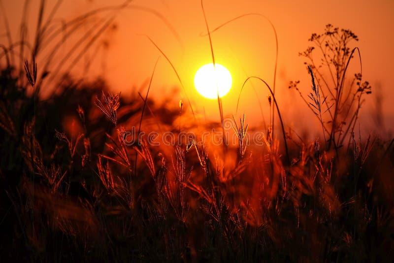 Por do sol com a silhueta da flor da grama imagem de stock royalty free