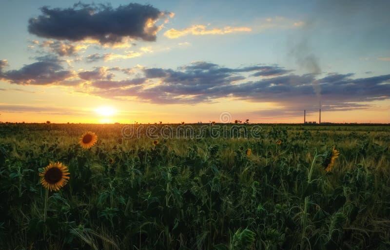 Por do sol da beleza sobre o campo dos girassóis foto de stock
