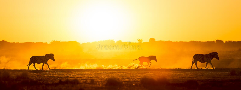 Por do sol da família da zebra imagem de stock royalty free