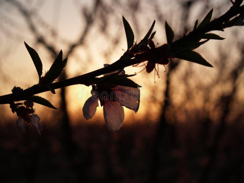 Download Por do sol da fuga da flor imagem de stock. Imagem de árvores - 527915